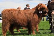 Highland Cattle zu verkaufen