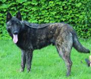 Holländischer Schäferhund, Herder