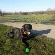 Hund Labrador/Goldie