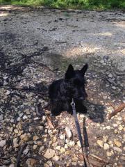 Hund Scottish-Terrier