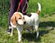 Isabel, freundliche Beagle-
