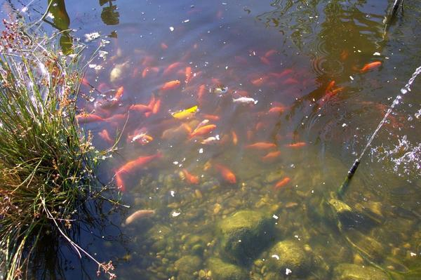 Junge goldfische teichfische gartenteich goldfisch in for Teichfische shubunkin