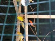 junge Kanarienvögel von