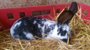 Junge Kaninchen alt