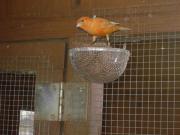 Kanarien Kanarienvögel Kanarien
