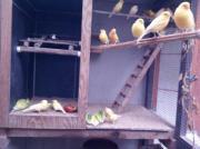 Kanarienvögel aus Juli