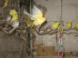 Vögel - Kanarienvögel Kanarien verschiedene Farbschläge gelb