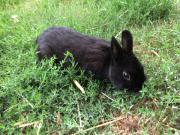 kaninchen Farbenzwerge schwarz
