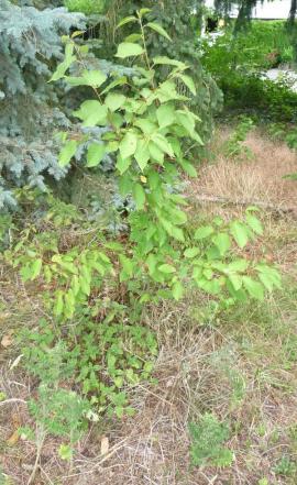 Pflanzen - Kirschbaum Kirschbäumchen Baum Bäumchen Kirsche