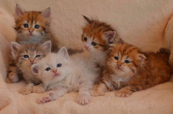 Kitten, direkt vom Tierarzt, inkl. Kastration (Sibirische Katze) - Tiefenbach - Sibirische KatzeKatzenbabyDie letzten Kitten von Landshut Brit``s Frühlingswürfen sind noch abzugeben! Unsere Kitten wachsen liebevoll behütet bei uns im Haus auf. Sie haben Zugang zu allen Räumen und nehmen aktiv am Familienleben teil. I - Tiefenbach