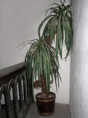 Kunstpalme -Yuccapalme plastik- Plastikpalme
