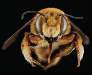 Kunstschwärme, Bienenköniginnen kaufen