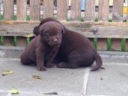 Labrador Welpen schokobraun ,