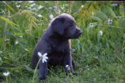 Labradorwelpen in Silber