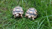 Landschildkröten, Breitrandschildkröten