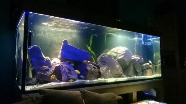 malawi barsche in mannheim fische aquaristik kaufen und verkaufen ber private kleinanzeigen. Black Bedroom Furniture Sets. Home Design Ideas
