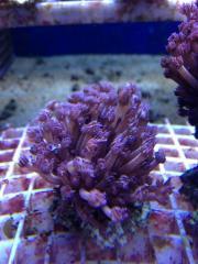 Meerwasser: Acropora, Stylophora,