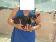 Mini Rex Chihuahua,
