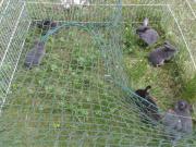 Minilop/Zwergwiederbabys suchen