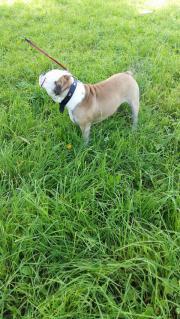 old engl bulldogge