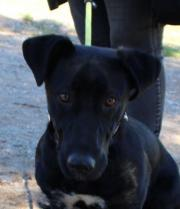 Paco, Basset-Labrador