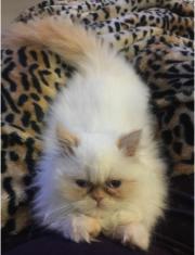 Perser Katzte Weibchen