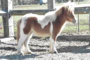 Ponys, Shettys, Fahr-