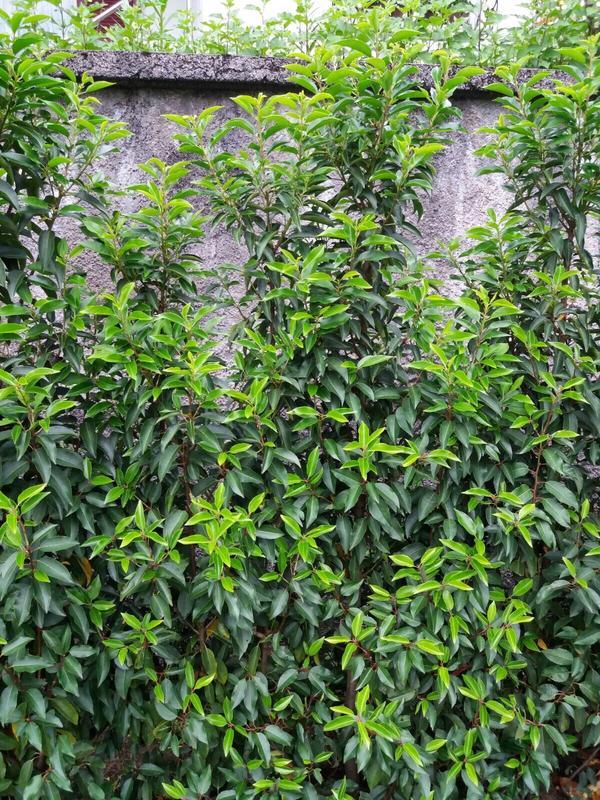 portug kirschlorbeer 70cm angustifolia in braz pflanzen kaufen und verkaufen ber private. Black Bedroom Furniture Sets. Home Design Ideas
