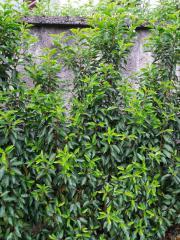 Portugiesischer Kirschlorbeer (Angustifolia )