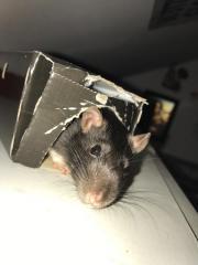 Ratte, Rattenweibchen, Rudel