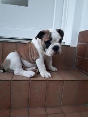 Reinrassige Englische Bulldogge