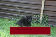Schäferhund - DDR Linie-