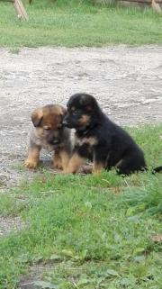 Schäferhunde