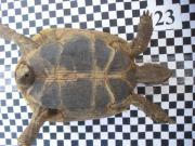 Schildkröte männlch THB