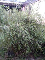 Schöner, großer Bambus