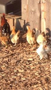 Serama Hühner