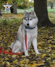 Siberian Huskydeckrüde mit