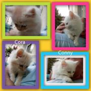 Sibirische Kätzchen Conny &