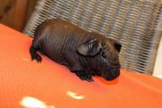 Skinny Pig Bub