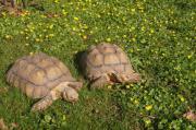 Spornschildkröten Pärchen 20