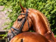 Suche Dressurpferd zu