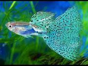 Suche fische
