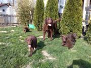Süße Labrador Welpen (
