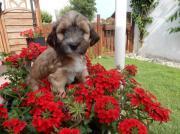 süße TibetTerrier Welpen