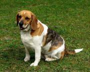 tricolor Beagledame sucht