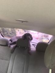 weimaraner Labrador Welpe