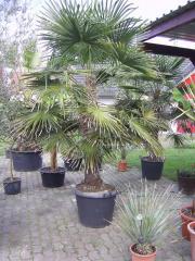 Winterharte Palmen ( heute