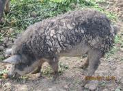 Wollschwein (w) / Mangalitza-