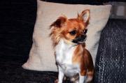 wunderschöne Mittellanghaarige Chihuahua