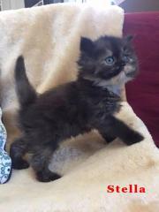 Wunderschöne Perser Kitten/